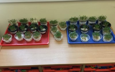 Growing Cress…
